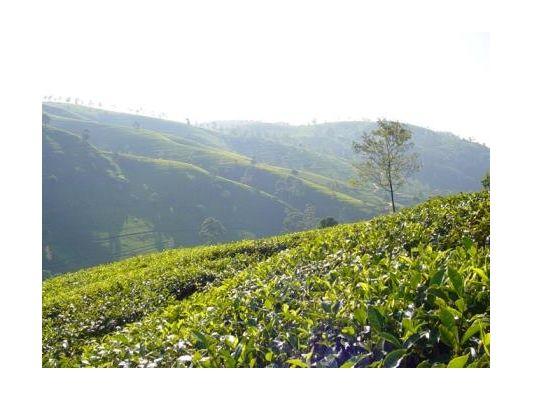 Чай из Кении — особенности производства, виды